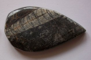 FOSSIL (ORTHOCEROS) - Click Image to Close